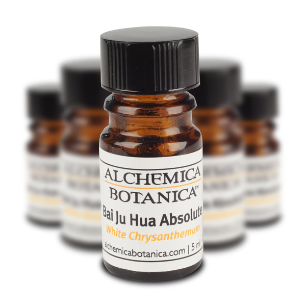 Bai Ju Hua Absolute (White Chrysanthemum flower) Essential Oil
